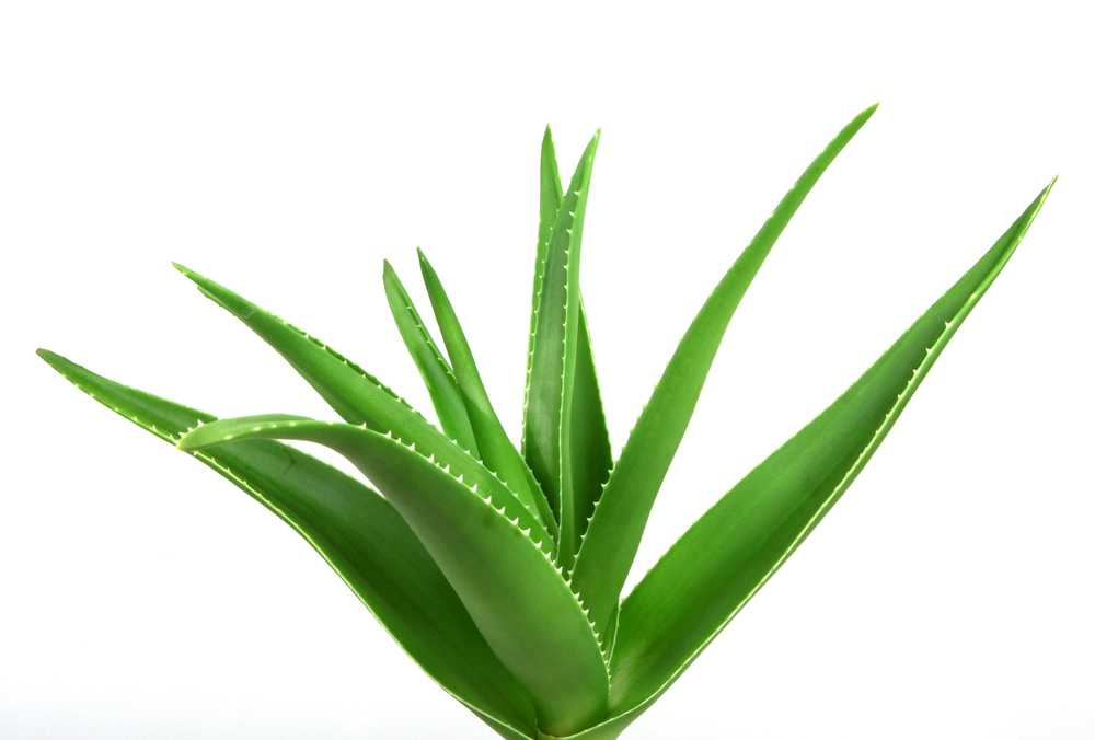 Aloe Vera eliminates turkey neck